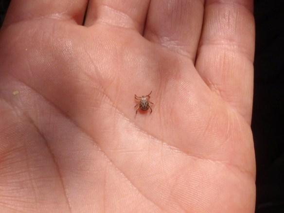 Este tipo de garrapata me encontró en el Formiga