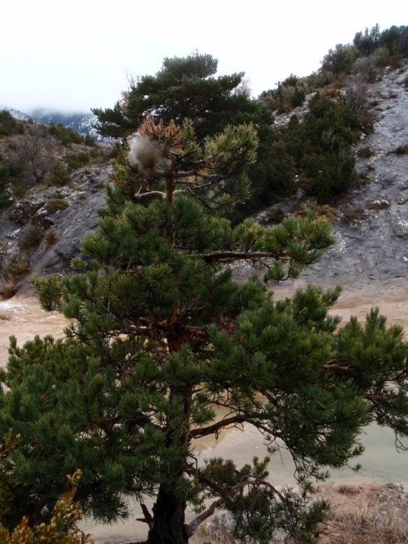 Típico nido de Procesionarias en un pino en la orilla del Flumen