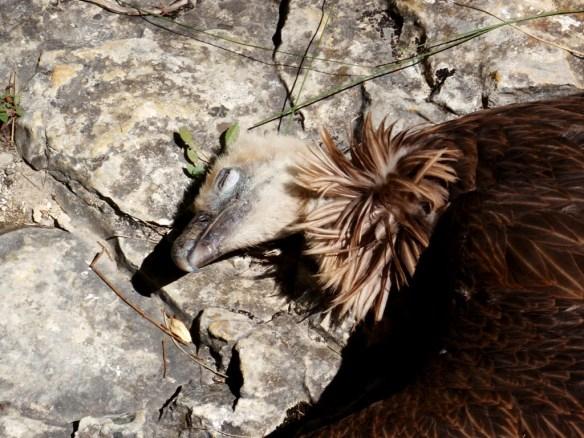 Buitre Leonado muerto