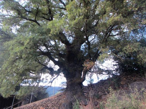 En el barrio de San Pedro cerca de la ermita marca este árbol los terrenos