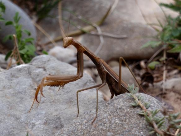 Una mantis