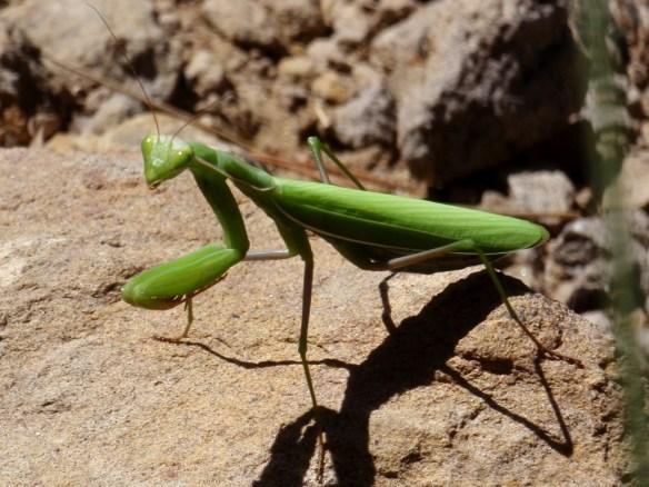 Una mantis verde.Nos encontramos en la cabecera de la Pillera.