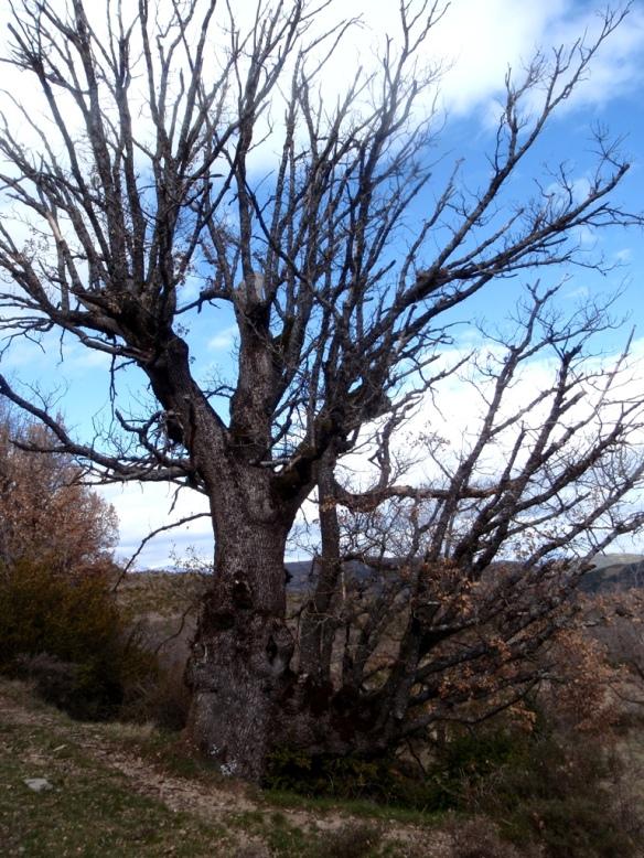 Quejigo descomunal en Bagueste