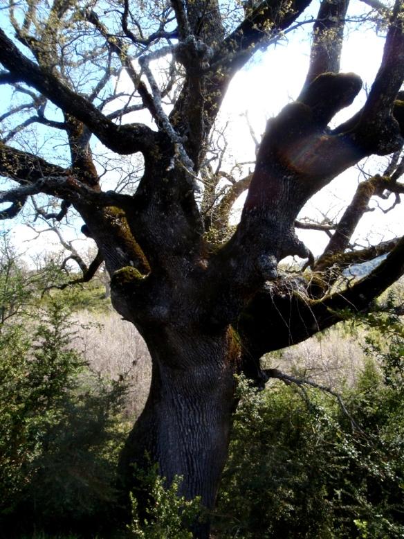 Un Quejigo con el tronco retorcido