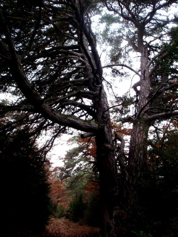 El viejo pino en la Sierra de Bonés
