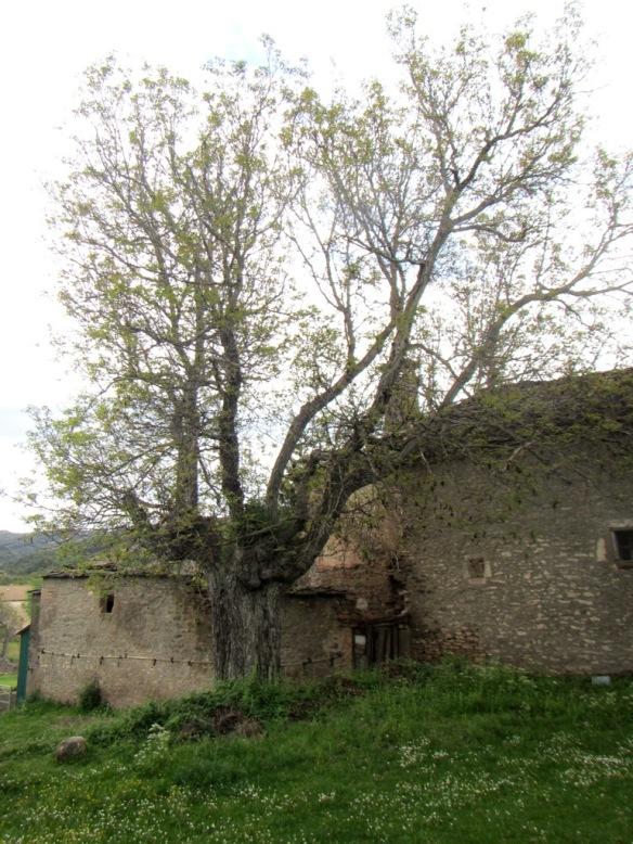 El viejo nogal den Bara