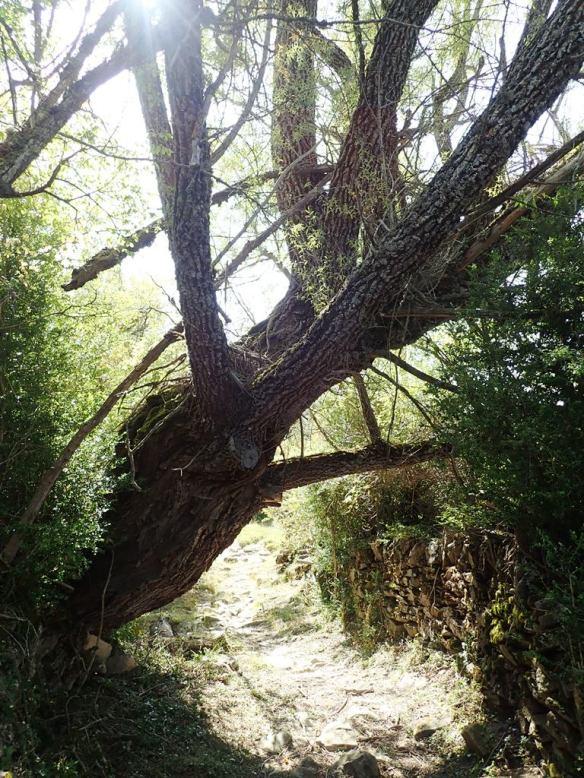 El fresno cerca de Ibirque