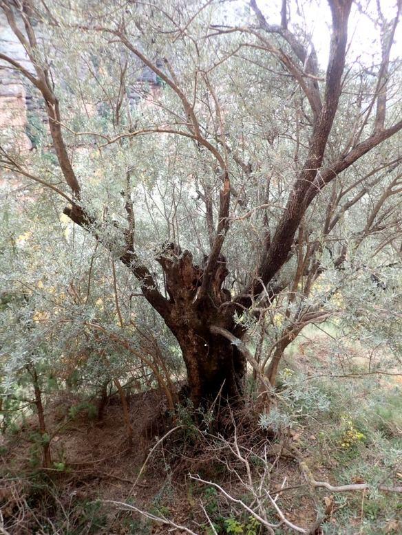 Olivos del Barranco Rosico